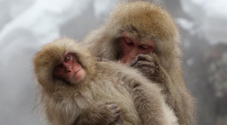 Snow Monkeys - Redterrain