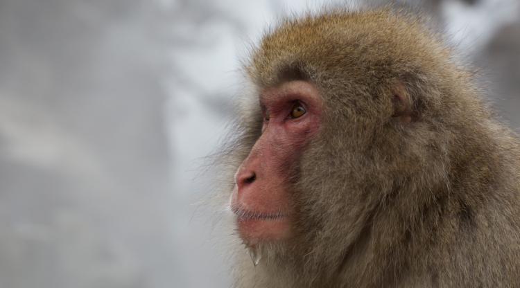 Japanese Snow Monkey - Copyright Redterrain 2015