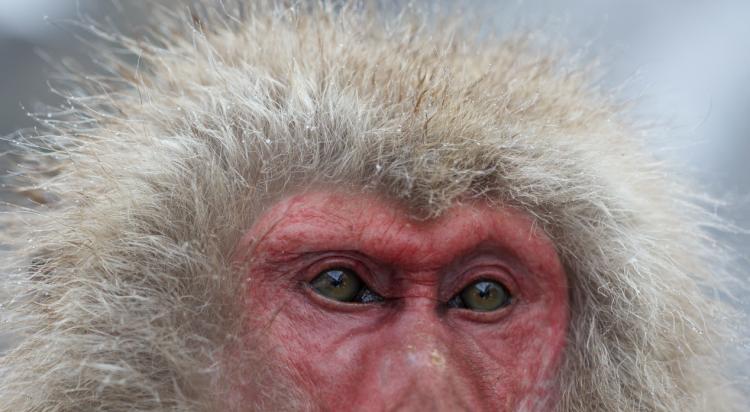 Japanese Snow Monkeys - 2015 Copyright - Redterrain