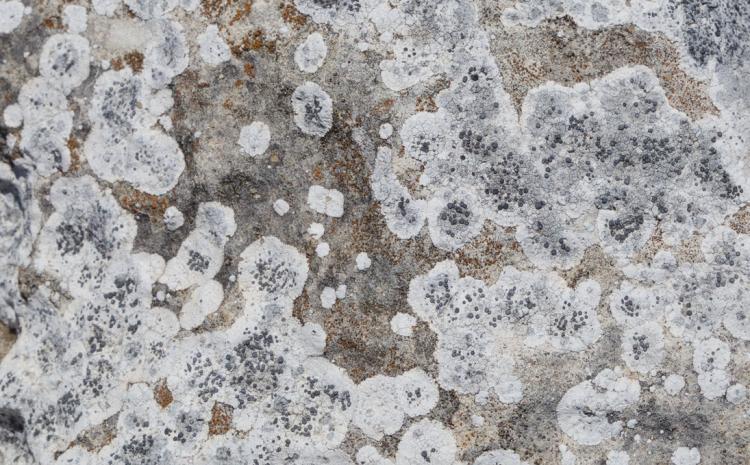 Limestone Lichen Greenhead Western Australia