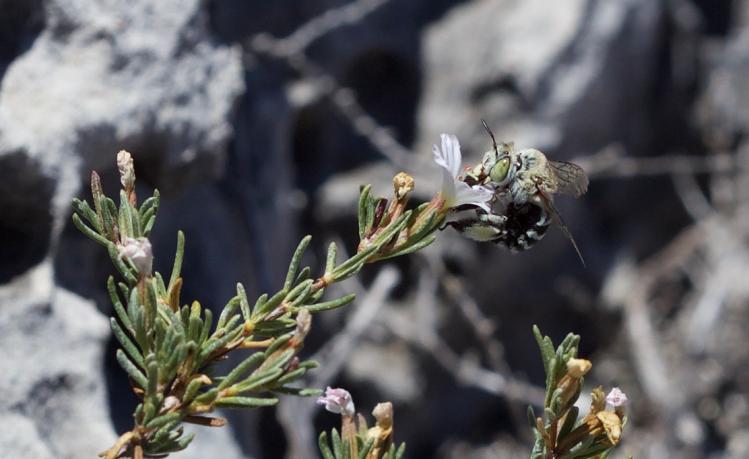 Blue Banded Bee Greenhead Western Australia