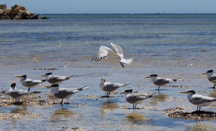 Crested Tern Greenhead Western Australia